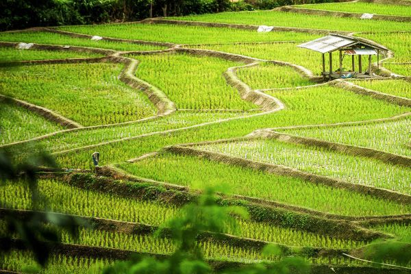 Pa Pong Piang Rice Terraces