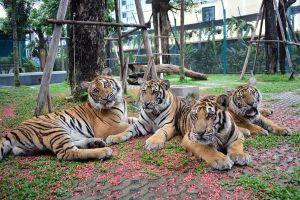 Pattaya Tiger Park