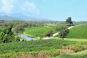Choui-Fong-Tea-Plantation-Chiang-Rai-Thailand-02.jpg