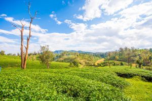 Choui-Fong-Tea-Plantation-Chiang-Rai-Thailand-04.jpg