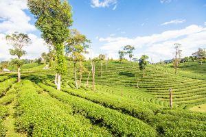 Choui-Fong-Tea-Plantation-Chiang-Rai-Thailand-05.jpg