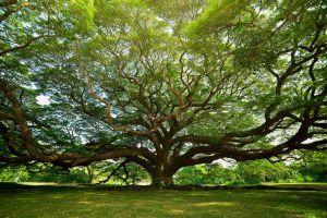 Giant-Rain-Tree-Kanchanaburi-Thailand-02.jpg