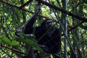Gibbon-Rehabilitation-Project-Phuket-Thailand-03.jpg