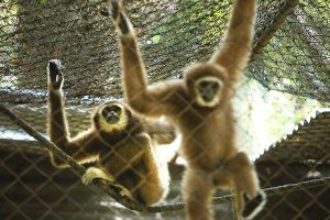 Gibbon-Rehabilitation-Project-Phuket-Thailand-04.jpg