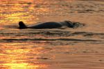 Irrawaddy-Dolphin-Kratie-Cambodia-002.jpg