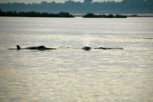 Irrawaddy-Dolphin-Kratie-Cambodia-003.jpg