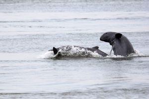 Irrawaddy-Dolphin-Kratie-Cambodia-006.jpg