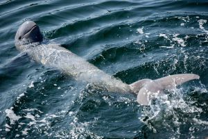 Irrawaddy-Dolphin-Kratie-Cambodia-007.jpg