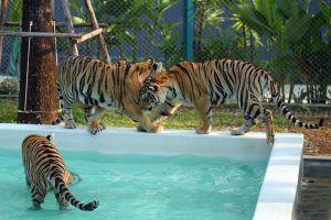 Pattaya-Tiger-Park-Chonburi-Thailand-03.jpg