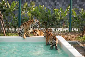 Pattaya-Tiger-Park-Chonburi-Thailand-04.jpg