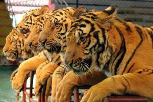 Sriracha-Tiger-Zoo-Chonburi-Thailand-02.jpg