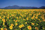 Sunflower-Fields-Saraburi-Thailand-001.jpg