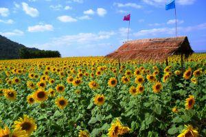 Sunflower-Fields-Saraburi-Thailand-002.jpg