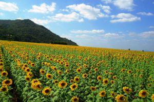 Sunflower-Fields-Saraburi-Thailand-003.jpg
