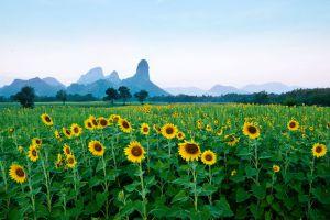 Sunflower-Fields-Saraburi-Thailand-005.jpg