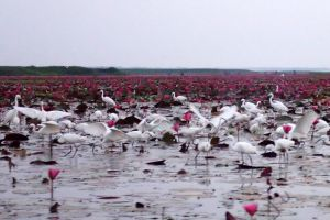 Thale-Noi-Waterfowl-Reserve-Phatthalung-Thailand-001.jpg